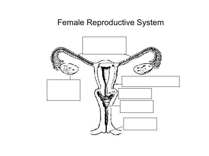 6th Grade Lesson Plans – Reproductive System Worksheets